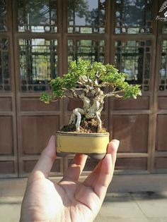 Indoor Bonsai Tree, Bonsai Plants, Bonsai Garden, Garden Trees, Indoor Plants, Mame Bonsai, Art Asiatique, Jade Plants, Tree Care