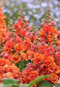 Love the color of these snapdragons..
