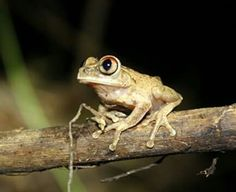 Night Spirit Frog (Leptopelis spiritusnoctis)