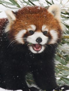 radivs: 'Bamboo Munching in the Snow' by Mark Dumont