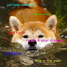 Shiba Inu Swimming – What a face! You probably have to get wet to get a closeup picture like that. Japanese Shiba Inu dogs are bred for hunt. Funny Doge, Doge Meme, Funny Dog Memes, Funny Animal Memes, Funny Animals, Cute Animals, Animals Dog, Funny Facts, Shiba Inu