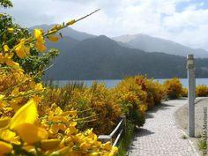 Primavera en Villa la Angostura - Patagonia - Argentina. Retamas en flor