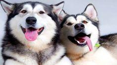 UVIOO.com - 10 Funniest Husky Videos