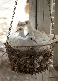 This reminds me of the doves that come every spring and make their nests in the oddest of places; on a shallow ledge, under a patio umbrella... If you have any hanging plants outside, they are sure to nest there. They're not the brightest bird in the yard.