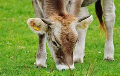 Why Grass-Fed Dairy Is Better for You—And How To Avoid The Fake Stuff  http://www.rodalesorganiclife.com/food/grass-fed-dairy-guide
