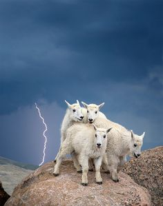 Mountain Goats Cling Together in Mount Evans Wilderness, Colorado