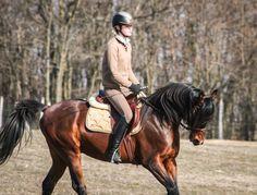 Arabian stallion in dressage training, Shivaji JJ (Ajman Moniscione x Sasha Jullyen V / Jullyen El Jamaal.  www.angels-gardens.com