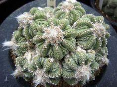 10 SEEDS The NEW LOPHOPHORA DECIPIENS Rare Cactus Seeds Kakteen Samen