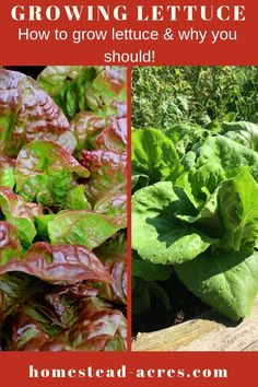 How to grow lettuce in your backyard garden even in a small space. The best tips… How to grow lettuce in your backyard garden even in a small space. The best tips for planting, growing, watering, and harvesting lettuce plants. Small Space Gardening, Small Gardens, Organic Vegetables, Growing Vegetables, Low Growing Shrubs, Growing Plants, Organic Insecticide, Growing Lettuce, Home Vegetable Garden
