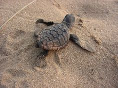 Turtle Tracking in KwaZulu-Natal North Coast | iSimangaliso Wetlands - Dirty Boots Leatherback Turtle, Wetland Park, Baby Turtles, Sea Turtles, Kwazulu Natal, Adventure Activities, North Coast, Africa Travel, South Africa
