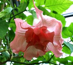 Scientists are trying to bring more beauty to the colder regions of the Texas by breeding winter-hardiness into a tropical ornamental plant, the angel's trumpet flower.
