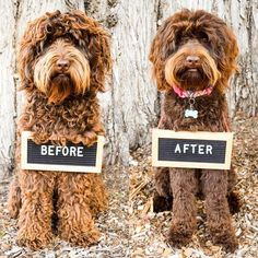 Lets take a look at some of the pros and cons of DIY grooming versus going to a professional to groom your pup. Lets take a look at some of the pros and cons of DIY grooming versus going to a professional to groom your pup. Goldendoodle Grooming, Poodle Grooming, Mini Goldendoodle, Standard Goldendoodle, Cockapoo Dog, Cavapoo, Maltipoo, Goldendoodle Haircuts, Dog Haircuts