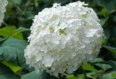 white hydrangea flower Amazing Flowers, Beautiful Flowers, Nice Flower, Types Of White Flowers, Hydrangea Flower, Hydrangeas, Art Prints For Home, English Country Gardens, Moon Garden