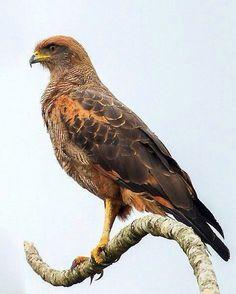 Savannah Hawk (Buteogallus meridionalis)