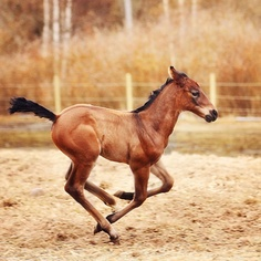 Gonna have one of these running around in a few months  hopefully a blue roan tho :)