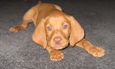 Hungarian Vizsla puppy so gorgeous....