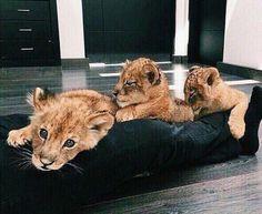 Imagen de animal, lion, and cute