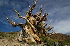 Methuselah Grove, California.  The oldest tree in the world - 4844 years old -
