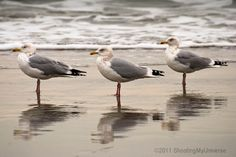 Herring gull march