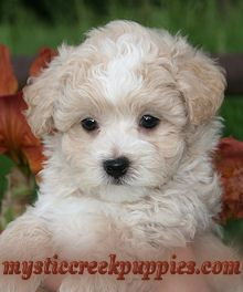 This one looks like a stuffed animal!! --Care and Training of Maltipoo and Morkie puppies