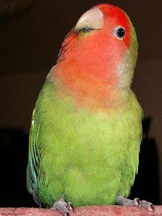 Ok this is my best side. Bosse. Lovebird