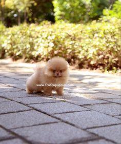 Teacup Pomeranian, All The Colors, Tea Cups, Chocolate, Chocolates, Brown, Cup Of Tea