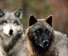 Gray Wolves--Wolfwatcher Photo