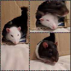 Cute lil rats.