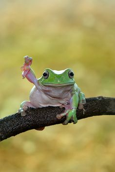 Frog Discover Dumpy frog I hate you The Animals, Cute Little Animals, Cute Funny Animals, Baby Animals, Cute Reptiles, Reptiles And Amphibians, Whites Tree Frog, Pet Frogs, Funny Frogs
