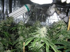 Super Powerful CFL Grow Lights Are HERE!