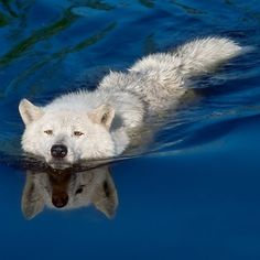 Arctic Tundra Wolf Even though it does look like the Fat Chap having a swim
