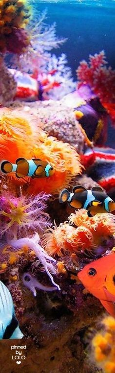 """Great Barrier Reef) * * CLOWN FISH: """" It's a sad day to hear dat de Great Barrier Reef iz in trouble. De coral be dyin'. """"( Great Barrier Reef) * * CLOWN FISH: """" It's a sad day to hear dat de Great Barrier Reef iz in trouble. De coral be dyin'. Life Under The Sea, Under The Ocean, Sea And Ocean, Colorful Fish, Tropical Fish, Tropical Colors, Nemo Y Dory, Fauna Marina, Underwater Life"""