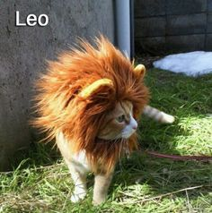 July 23 – August 22:    Leo Cats are extremely honorable and dignified. For a cat, I guess this means that they are maybe slightly less likely to lick themselves in public. If you are a Leo Cat, you're pretty happy being the center of attention, unless there's a sunbeam somewhere that requires your royal person to be asleep in it.