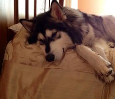 Northern Inuit dog (in love)