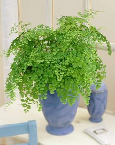 Easy to maintain house plants: MAIDENHAIR FERN- Don't have much bright sunlight in your apartment? Neither does the forest floor, so -- lucky for you! -- many low-growing plants, like this maidenhair fern, can thrive without much direct light.