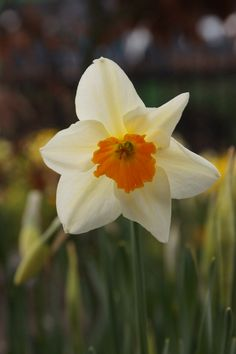 Narcissus Carbineer - Dutch Garden World