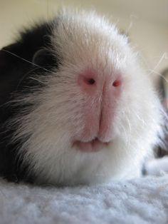 Guinea Pig nose <3