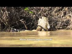 Turistas flagram novo ataque de onca contra jacare no Pantanal