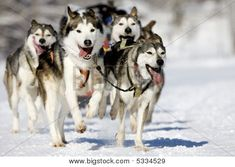"Receive wonderful suggestions on ""Siberian Husky Dogs"". They are actually accessible for you on our site. Alaskan Husky, Siberian Husky Puppies, Husky Mix, Husky Puppy, Siberian Huskies, Huskies Puppies, Dog Test, Canada, Working Dogs"
