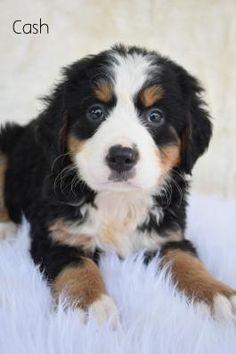 Bernese Mountain, Mountain Dogs, Lancaster Puppies, Dog Training, Training Tips, St Bernard Dogs, Adoptable Beagle, Teacup Chihuahua, Labrador Retriever Dog