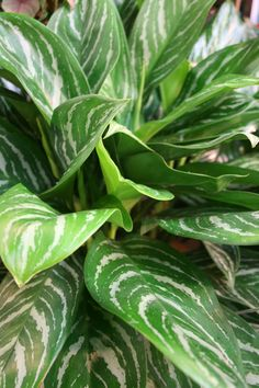Aglaonema: 'Chinese Evergreen'