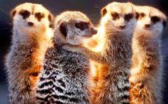 Un grupo de suricatas en el zoológico Opel de Kronberg, cerca de Frankfurt, Alemania (Michael Probst, 2016)