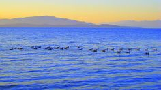 Canada Geese at Sunset - Parksville, BC