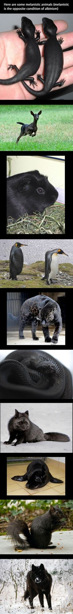 Melanistic Animals, THE OPPOSITE OF ALBINISM, I NEVER KNEW THIS EXISTED, AMAZING !