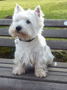 Adorable West highland Terrier Dog sitting on the Park Bench Westie Puppies, Westies, Cute Puppies, Dogs And Puppies, Chihuahua Dogs, Doggies, Terriers, Terrier Dogs, Terrier Mix