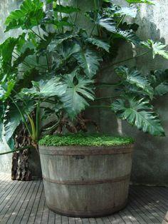 Guaimbe - Philodendron bipinnatifidum