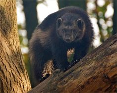 Wolverine Wolverine Animal, Camels, Wolverines, Find Picture, Black Bear, Nature Pictures, Spirit Animal, Whisper, Animal Pictures