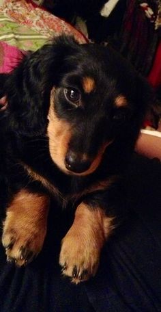 Black and Tan Long Haired #Dachshund #Dogs #Puppy