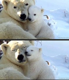 Polar bears hugging, does it get any more precious?