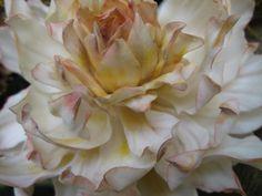 sugar dahlia  sugar flower classes